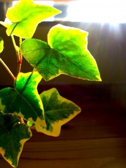 観葉植物 アイビー 緑 みどり 癒やし 室内 新緑 グリーン 背景 余白 空白 朝日 きれい アップ マクロ 逆光 植物 素材 材料 差し込む光 光