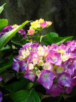 あじさい アジサイ 紫陽花 花 葉 植物 ピンク 緑 6月 夏 梅雨 日ざし 太陽 雨 天気