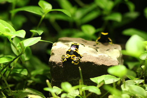 爬虫類 はちゅうるい 脊椎動物 爬虫綱 顔面 動物 生物 生き物 アップ クローズアップ 接写 自然 植物 葉 葉っぱ 野生 這う カエル かえる 蛙 模様 黄色 黒 ジャングル 森