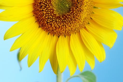 季節 夏 サマー 空 青空 ひまわり ヒマワリ 向日葵 黄色 黄 植物 花 花びら 大輪 ひまわり油 種