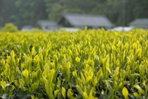 茶畑 田舎 自然 原風景 日本 里山 新茶 若葉 新緑 greentea 新芽 茶の芽 せん茶 日本茶 煎茶 初夏 和 農家 八十八夜