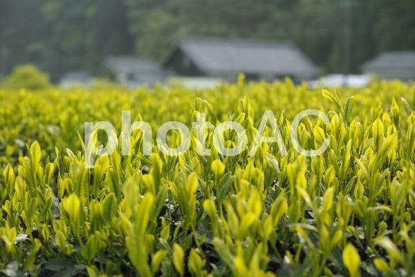 茶畑風景の写真