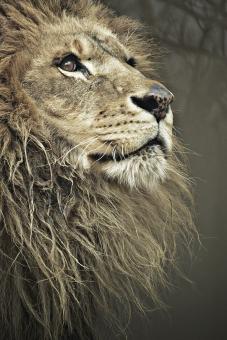 ライオン オスライオン オス 雄 動物 哺乳綱 ネコ目 食肉目 ネコ科 ヒョウ属 食肉類 シシ 獅子 百獣の王 獰猛 アフリカ 動物園 自然 飼育 肉食 外 屋外 毛並み 毛 怖い 吠える 牙