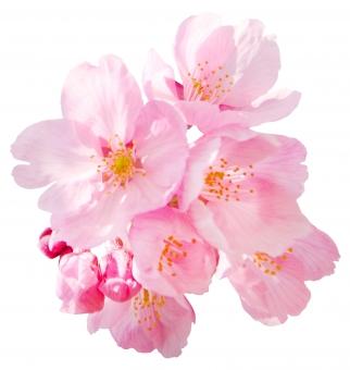 植物 花 桜 春 サクラ さくら 開花 ピンク 咲く 素材 装飾 飾り お花 透過 切り抜き 早咲き アクセント ワンポイント カワヅザクラ 河津桜 切抜き キリヌキ 早咲き桜 背景透過