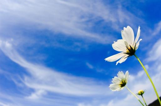 秋 秋の花 秋の空 白 白い花 コスモス 秋桜 背景 壁紙 背景素材 9月 10月 11月 青 青い空 爽やか すっきり ポストカード 雲 白い雲 バックグラウンド バックグランド 秋の風景 広告素材 広告 気持ちいい