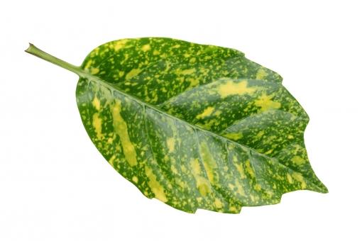 自然 葉 葉っぱ 緑色 緑 ドラセナ スルクロサ ホシセンネンボク ゴッドセフィアナ センネンボク 植物 観葉植物 斑点 染み 滲み 質感 テクスチャ テクスチャー 葉脈 アップ クローズアップ 余白 白 背景 白バック 白背景 スタジオ スタジオ撮影 一枚 1枚 切抜き 切り抜き