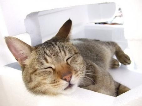 ネコ 猫 ねこ 昼寝 眠る 目をつむる 目を閉じた 顔 アップ 横になる 寝そべった リラックス くつろぐ だらける やる気なし 発泡スチロール ベッド 寝る 家猫 飼い猫 室内猫 知らんぷり 無視 寝たふり 足 可愛い 癒し 安心 ちゃこ 動物