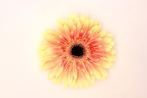 花 植物 ガーベラ 正面 黄色 咲く 満開 白バック 一輪