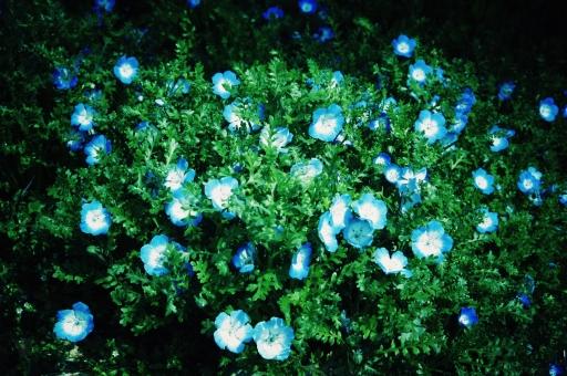 ネモフィラ 春の花 春 ルリカラクサ 青い花 クロスプロセス トイ風 トイフォト トーンカーブ調整