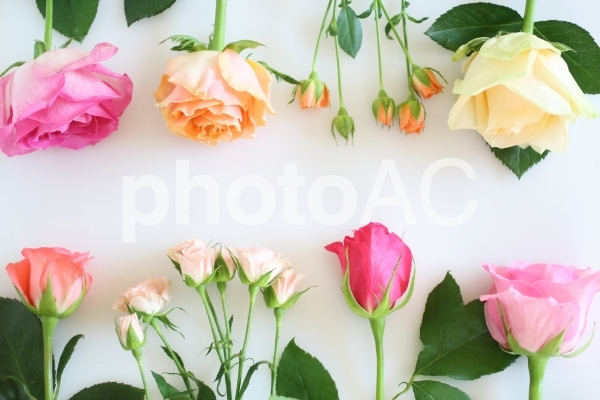 薔薇のフレーム 5の写真