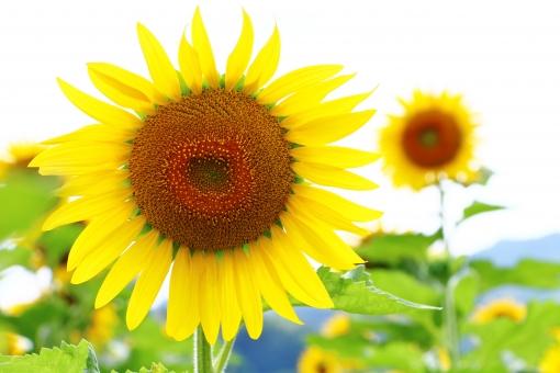 ひまわり ヒマワリ 向日葵 夏 真夏 太陽 お日様 お日さま 笑顔 微笑み ほほえみ 花 植物 花びら 黄色 黄 yellow イエロー 背高 ノッポ のっぽ 日差し 陽射し 明るい 強さ 自然 風景 景色 景観 壁紙 背景 テクスチャ 素材 green グリーン ミドリ 緑 緑色 みどり 茶色 茶 brown ブラウン 爽やか 爽快 鮮やか 艶やか 優しい 優しさ 大らか おおらか 朗らか ほがらか はっきり ハッキリ くっきり クッキリ すっきり スッキリ 大きい でかい 大輪 夏の代表花 夏の花 涼やか 涼しさ 涼 クローズアップ 晴れ 快晴 晴天