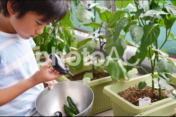 収穫した野菜を観察する男の子の写真