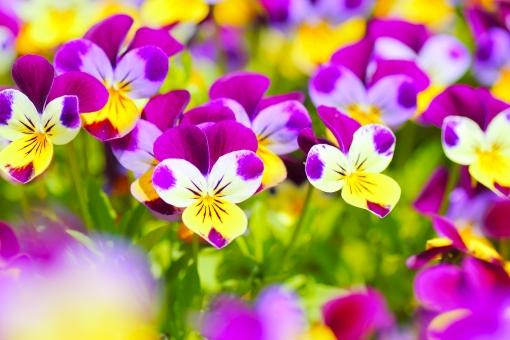 ビオラ パンジー 紫 植物 花壇 花 お花畑 花畑 公園 春 秋 小さい花 素材 背景写真 背景素材 接写 前ボケ アップ 園芸 ガーデニング お花 花いっぱい 明るい 庭 公園 賑やか ささやか 綺麗 きれい キレイ