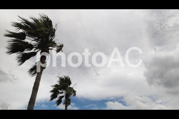 ヤシの木 台風の写真