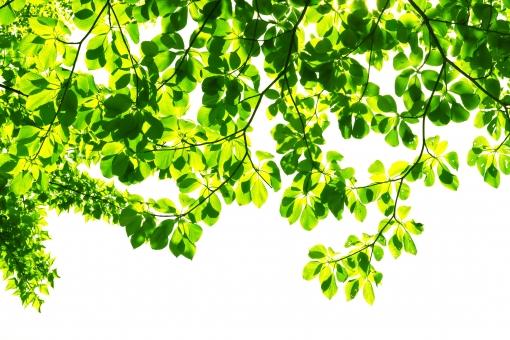 自然 夏 初夏 木洩れ日 木漏れ日 こもれ日 こもれび 緑 グリーン 山 登山 木 樹木 黄緑 光 爽やか 爽快 癒し 葉 輝き 5月 クリーン 空気 クリーンイメージ 透過光 待ち受け ポストカード コピースペース 清潔感 澄んだ空気 若葉 眩しい バックグランド 植物 太陽 日 新緑 明るい 林 葉っぱ 木の葉 木葉 はっぱ 木の枝 小枝 風景 森 エコ エコロジー 環境 eco eco 森林 森林浴 森林セラピー いやし リラックス リラクゼーション やすらぎ 安らぎ マイナスイオン 健康 背景 背景素材 テクスチャ テクスチャー バックグラウンド 3月 4月 5月 6月 7月 8月 春 白 白背景 白バック 切抜き 合成 きらめき キラメキ 優しさ やさしい ソフト