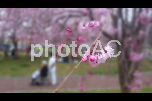 桜と介護の写真