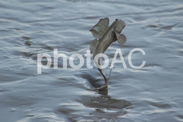 ムツゴロウ8【有明海】の写真