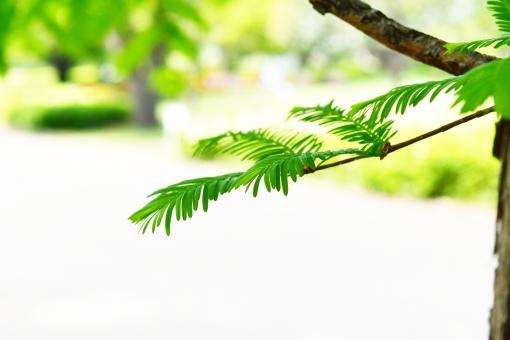 新緑 しんりょく 3月 4月 5月 6月 メタセコイヤ めたせこいや スギ科 葉 葉っぱ 緑 黄緑 みどり きみどり 自然 綺麗 爽やか 見上げる 人気 植物 樹木 新鮮 森 林 公園 グリーン 暖かい 季節 若草色 若葉 木洩れ日 木漏れ日 こもれび 明るい 気分 最高 気持ちが良い 空気 クリーン 森林浴 背景 テクスチャ 壁紙 バックグラウンド ヒーリング リラックス 癒し マイナスイオン 初夏 夏 春 リラクゼーション 涼しい セラピー エコ eco アップ 接写 至近距離