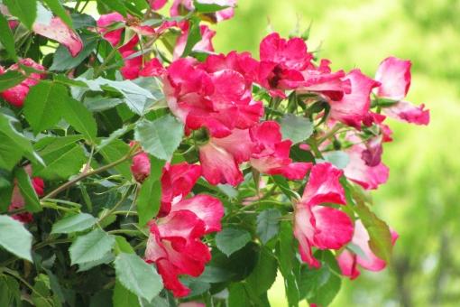 濃いピンクのバラの写真