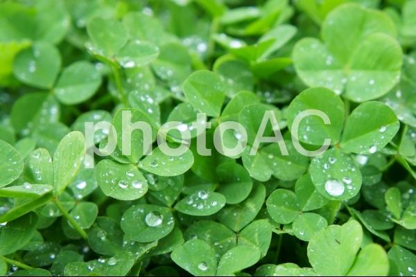 雨上がりのクローバーの写真