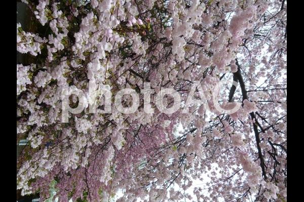 Sakura7の写真
