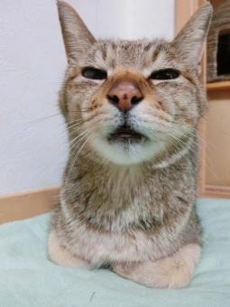 ネコ 猫 顔 表情 アップ すまし顔 睡魔 眠い うとうと 知らん顔 無関心 興味なし やる気なし 考え中 考え事 悩み中 悩む う~ん 目を細める 半目 しらんぷり 家猫 飼い猫 室内猫 ペット ちゃこ 可愛い 聞いてるふり 聞こえないふり しかと