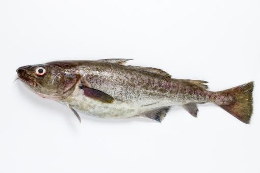 鱈の写真素材|写真素材なら「写真AC」無料(フリー)ダウンロードOK