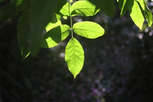 緑 光 秋 冬 自然 風景 植物 葉 はっぱ 環境 緑 緑の葉 緑色 ひざし 太陽 太陽の光 日差し 日射し 陽射し 日ざし 陽ざし 素材 背景素材 エコ