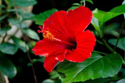 ハイビスカス 南国 花 お花 赤い花 赤 めしべ おしべ フラワー 背景 植物 きれい 咲く 晴れ 自然 明るい 屋外 花びら アップ 接写 ガーデニング 園芸 栽培 趣味 開花 鮮明  生花
