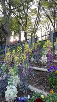 植物 アブラナ 太陽 木 夕日 花壇 カラフル 公園 広場 散歩 うららか 春 グリーン 緑 土 景色 風景 日本 気晴らし 晴れ おてんき 気持ちいい 彩 夕方 葉 紫 白 花 お出かけ