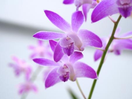 デンドロビウム デンドロビューム キンギアナム セッコク ラン 洋ラン 洋蘭 花 植物 紫 紫色 パープル 園芸 ガーデニング 鑑賞 小さい花 紫の花 栽培 温室