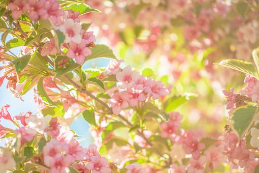 自然 植物 花 花びら おしべ めしべ 花粉 ピンク色 桃色 しぼむ つぼみ 満開 咲く 開花 開く 成長 育つ 葉 葉っぱ 緑 枝 木 樹木 集まる 密集 多い 沢山 ぼやける ピンボケ 空 太陽 太陽光 陽射し 逆光 眩しい 光 加工 無人 室外 屋外 風景 景色 幻想的
