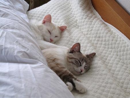 猫のカップル ベットで寝るの写真