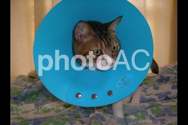 エリザベスカラーを付けた猫の写真