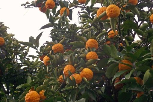 ゆず 柚子 ユズ 柚 果物 果実 fruit フルーツ 食べ物 食品 食材 料理 調理 グルメ gourmet 自然 緑 木 樹木 植物 春の植物 季節の植物 季節感 seasonimage 春 春の風景 春の景色 風物詩 柑橘類