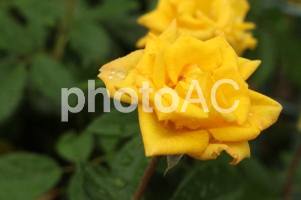 バラに滴の写真
