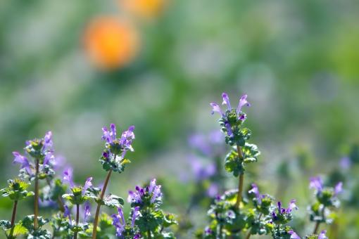 自然・風景 植物 花 仏の座 春の花 小さい花 かわいい花 春 野原 野生 新緑 若葉 新芽の季節 光を浴びて 光透過光 グリーンバック 待ち受け画面 ポストカード コピースペース 背景 野外アウトドア 森・林・公園 野山 バックグランド バックスペース みずみずしい エコ・環境 季節感 花言葉・調和