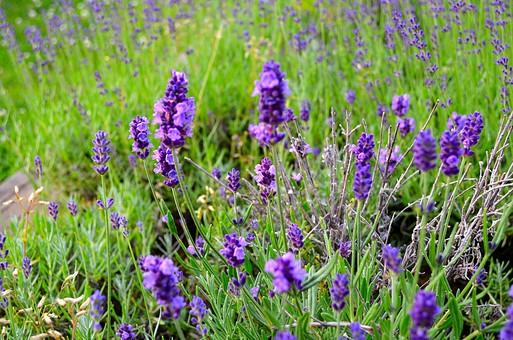 ラベンダー ラベンダー畑 花畑 ハーブ 香草 アロマ シソ科 常緑樹 ラヴァンドゥラ ラヴァンデュラ 花 お花 植物 きれい 咲く 晴れ 自然 明るい 屋外 園芸 栽培 趣味 開花 紫 薄紫