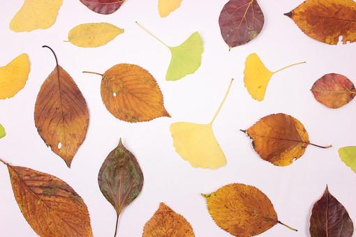 木の葉 枯葉 枯れ葉 落ち葉 落葉 植物 葉 葉っぱ 植物 秋 ナチュラル 白バック 白背景 自然 葉脈