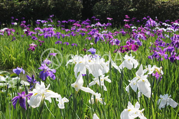 梅宮大社の花しょうぶの写真