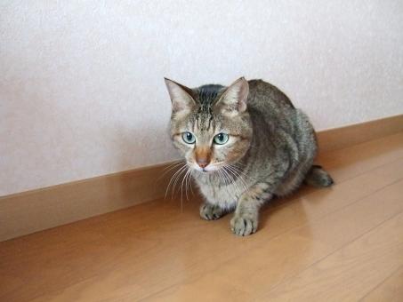 猫 ネコ 顔 表情 視線 見つめる 座り込む 目を開けた 考え中 悩む 悩み中 考え事 うーん フローリング 家猫 飼い猫 室内猫 ペット 動物 ちゃこ ヒゲ 真剣 集中 CAT 迷う