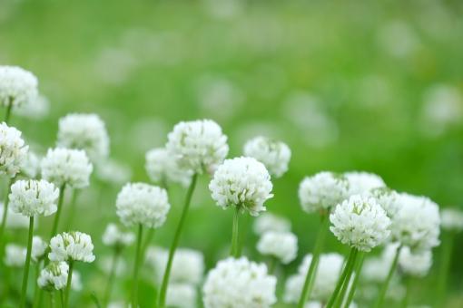 シロツメクサの花畑の写真