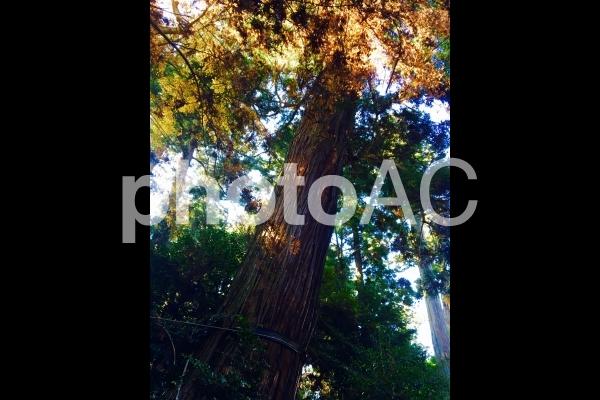 パワースポット 杉の木の写真