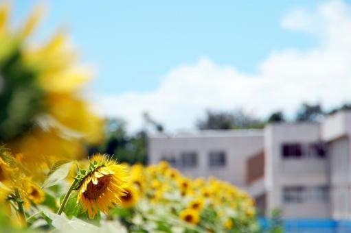 向日葵畑と学校の写真
