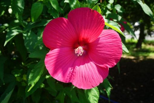 タイタンビカス 夏 強健 日当たり 暑さ 初夏 巨大な花 咲き乱れ 美しい 美しさ 存在感 圧倒 花 植物 アオイ科 大輪 大輪の花 宿根草 花びら ハイビスカス 屋外 真夏 葉
