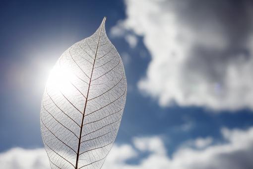 葉 葉っぱ 植物 葉脈 繊維 スケルトン 空 雲 青空 太陽 光 太陽光 シルエット 一枚 1枚 一つ 模様 自然 背景 テクスチャ テクスチャー 質感 半透明 繊細 イメージ アップ クローズアップ 屋外