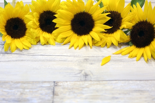 夏のイメージ 向日葵 コピースペース 夏 花 植物 真夏 黄色 ひまわり ヒマワリ 夏イメージ