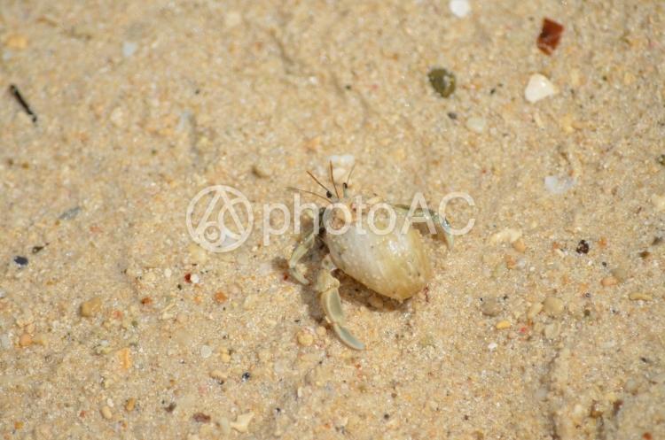 砂浜を歩いているヤドカリガニの写真