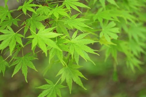 新緑 若葉 涼しい 緑 深呼吸 日本 和風 静か 静寂 庭 庭園 お茶 爽やか 風 背景 樹木 木 そよ風 日陰 自然 かえで カエデ 楓 木漏れ日