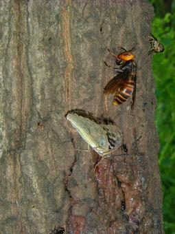 オオムラサキ おおむらさき 国蝶 蝶 ちょう ちょうちょ スズメバチ 蜂 はち 虫 昆虫 昆虫採集 夏 雑木林 クヌギ 樹液 コナラ 林